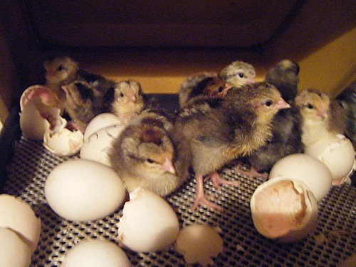 Chicks hatching in incubator