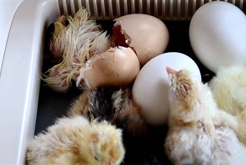 Chickens Hatching In Egg Incubator