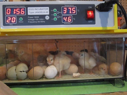 chicken manual egg incubator