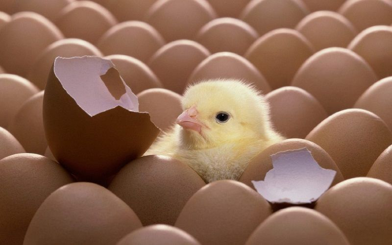 Hatching Chicken Eggs: A Guide For Beginner Farmers
