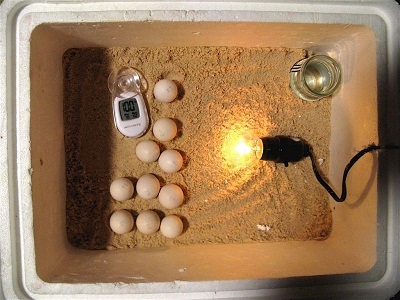 Hatching chicken eggs.
